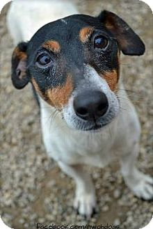 Parson Russell Terrier Dog for adoption in Toledo, Ohio - Stella