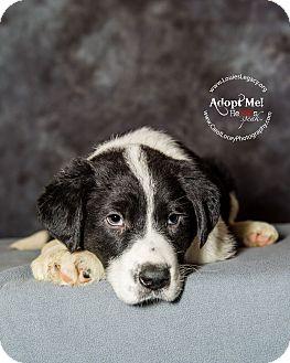 Border Collie/Bernese Mountain Dog Mix Puppy for adoption in Cincinnati, Ohio - Crimson