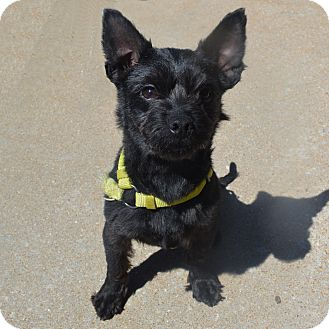 Terrier (Unknown Type, Small) Mix Dog for adoption in Columbia, Illinois - Toto