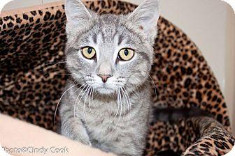 Domestic Shorthair Cat for adoption in Ann Arbor, Michigan - Leia