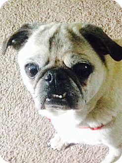 Pug Dog for adoption in Huntingdon Valley, Pennsylvania - Vinny
