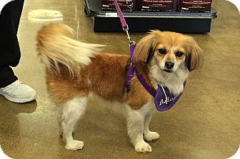 Cavalier King Charles Spaniel/Papillon Mix Dog for adoption in Beachwood, Ohio - Pippa