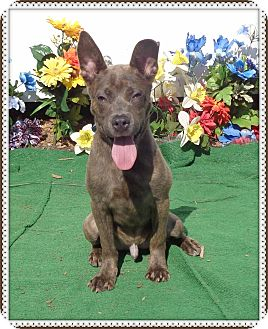 Pit Bull Terrier Mix Puppy for adoption in Marietta, Georgia - SCRAPPY DOO