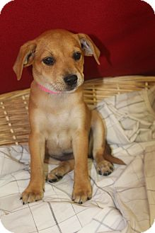 Shepherd (Unknown Type) Mix Puppy for adoption in Waldorf, Maryland - Hot Sauce