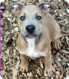 American Pit Bull Terrier Mix Puppy for adoption in McCormick, South Carolina - Trey