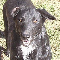 Adopt A Pet :: Ebony - Cross Roads, TX