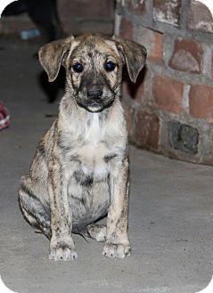 Catahoula Leopard Dog/Boxer Mix Puppy for adoption in Phoenix, Arizona - Mowgli