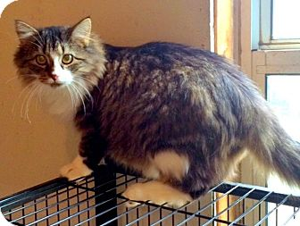 RagaMuffin Cat for adoption in Baxter, Tennessee - Rue Rue