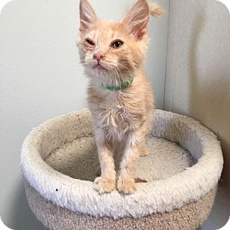 Domestic Shorthair Kitten for adoption in Westminster, California - Rags