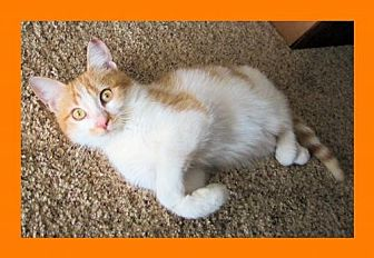 Domestic Shorthair Cat for adoption in Euless, Texas - Chipper