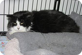 Domestic Longhair Cat for adoption in Glenwood, Minnesota - Chelfonte