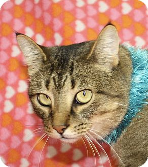 Domestic Shorthair Cat for adoption in Jackson, Michigan - Wolverine
