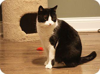 Domestic Shorthair Cat for adoption in Freeland, Michigan - Tweety