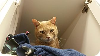 Domestic Shorthair Cat for adoption in Reisterstown, Maryland - Patrick