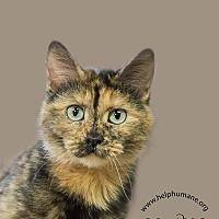 Calico Cat for adoption in Belton, Missouri - Zaria