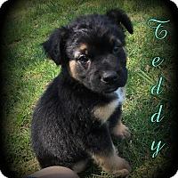 Adopt A Pet :: Teddy - Denver, NC
