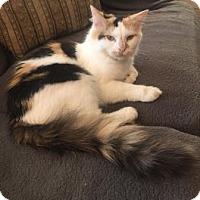 Domestic Mediumhair Cat for adoption in Wasilla, Alaska - Luna