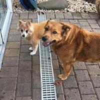 Adopt A Pet :: PENNY - NYC, NY