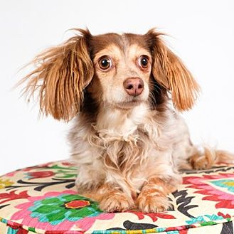 Chihuahua/Dachshund Mix Dog for adoption in St. Louis Park, Minnesota - Winifred