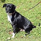 Adopt A Pet :: Cersei(50 lb) GREAT Family Pet
