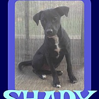 Adopt A Pet :: SHADY - White River Junction, VT