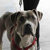 Adopt A Pet :: KANE - Los Angeles, CA