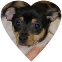 Toy Fox Terrier Puppy for adoption in Herndon, Virginia - Emma