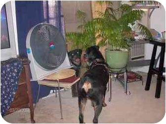 Rottweiler Dog for adoption in Santa Barbara, California - Brody