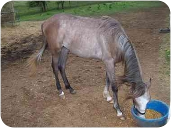 Arabian for adoption in Nowata, Oklahoma - Trouble