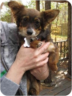 Chihuahua/Poodle (Toy or Tea Cup) Mix Dog for adoption in Houston, Texas - Hannah