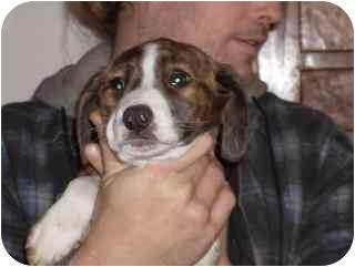 Boxer/Collie Mix Puppy for adoption in Edon, Ohio - Alexa...ADOPTED