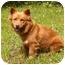 Photo 2 - Finnish Spitz/Corgi Mix Dog for adoption in Mocksville, North Carolina - Mindy
