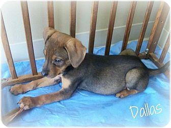 Bloodhound/Labrador Retriever Mix Puppy for adoption in Cannelton, Indiana - Dallas