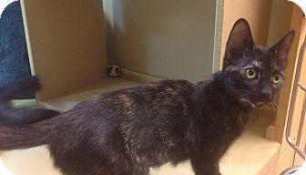Calico Kitten for adoption in Modesto, California - Shelby