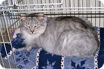 Domestic Mediumhair Cat for adoption in Scottsdale, Arizona - Sean