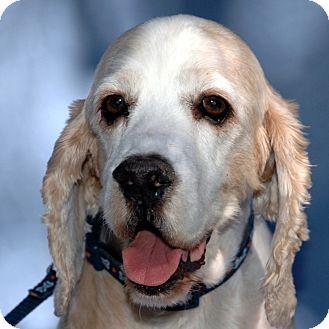 Cocker Spaniel Mix Dog for adoption in Sacramento, California - Sammy