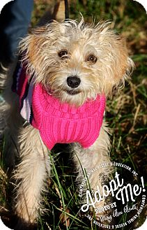 Poodle (Miniature)/Maltese Mix Puppy for adoption in Albany, New York - Pixie