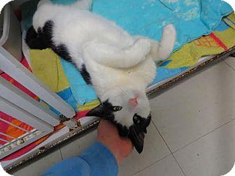 Domestic Shorthair Cat for adoption in Middletown, New York - Kitty