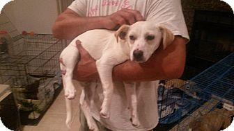 Dachshund/Jack Russell Terrier Mix Dog for adoption in Landers, California - Whiskers