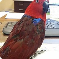 Adopt A Pet :: Simmie - Redlands, CA
