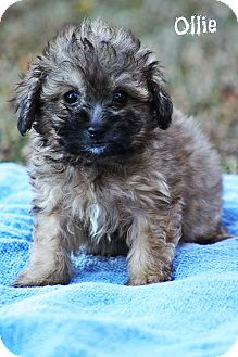 Shih Tzu/Poodle (Miniature) Mix Puppy for adoption in Brattleboro, Vermont - Ollie