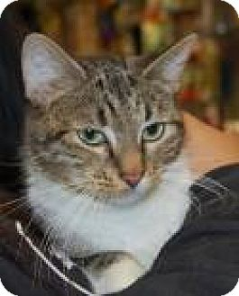 Domestic Shorthair Cat for adoption in Brooklyn, New York - Macey