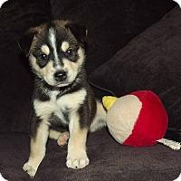 Adopt A Pet :: Kodiak (Kody) - Phoenix, AZ