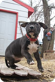 American Pit Bull Terrier Mix Puppy for adoption in West Allis, Wisconsin - Banshee