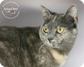 Domestic Shorthair Cat for adoption in Lyons, New York - Tabitha