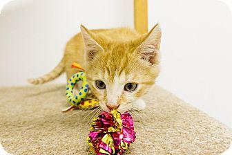 Domestic Shorthair Kitten for adoption in Baltimore, Maryland - Widget