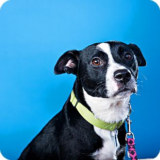 Border Collie/Labrador Retriever Mix Dog for adoption in Houston, Texas - Mother Mary