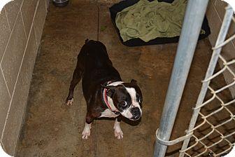 Boston Terrier Dog for adoption in Freedom, Pennsylvania - Brooke