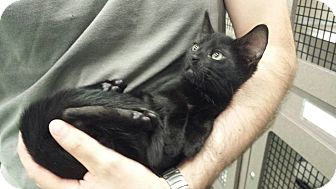 Domestic Shorthair Kitten for adoption in Cherry Hill, New Jersey - Eeyore