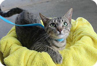Domestic Shorthair Cat for adoption in Ocean Springs, Mississippi - Tabitha